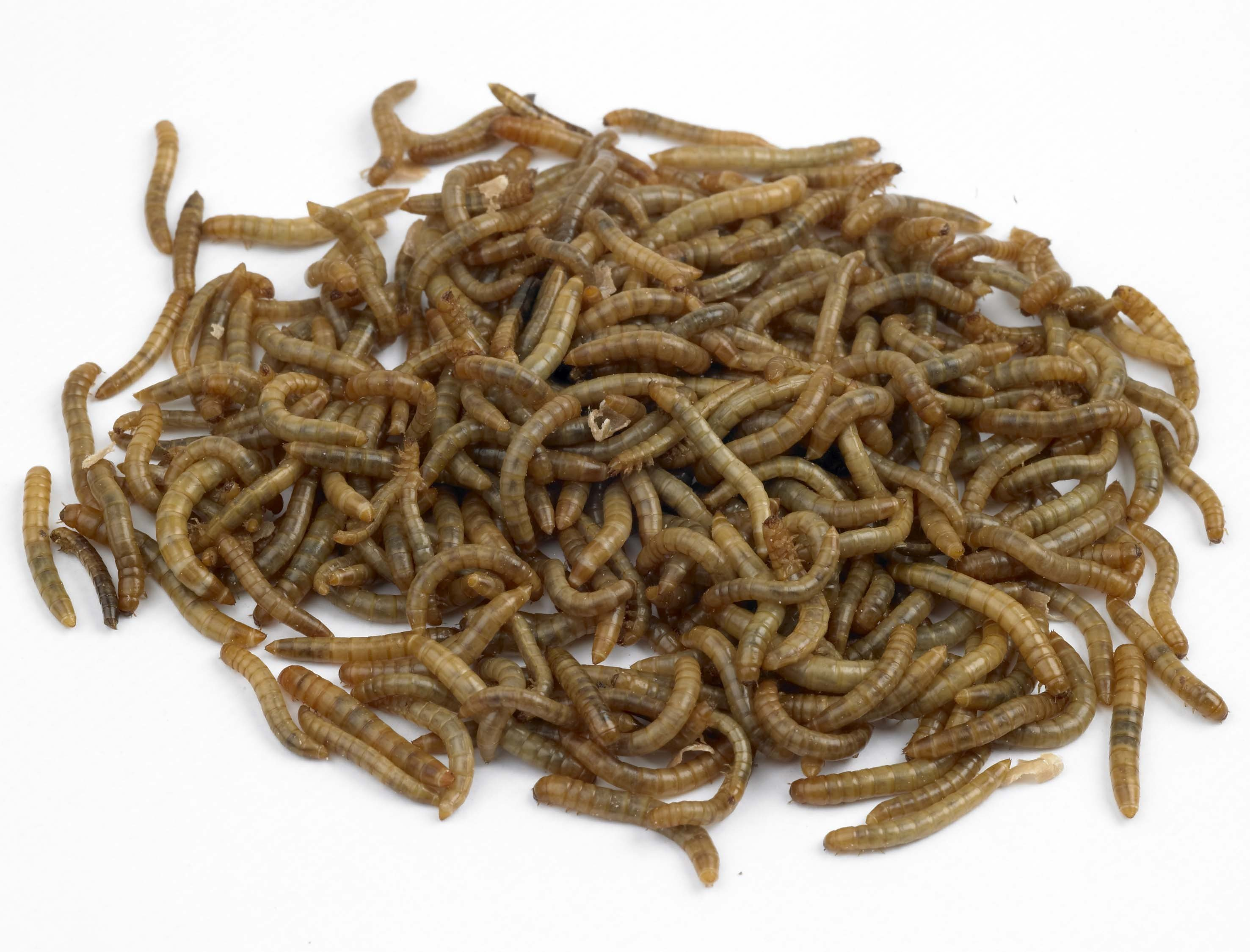 how to farm mealworms pdf